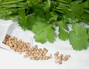cilantro with seeds
